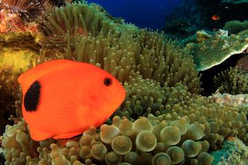Tomato Anemonefish clownfish fish