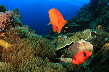 Tomato Anemonefish clownfish fish