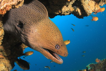 Fototapete - Giant Moray Eel