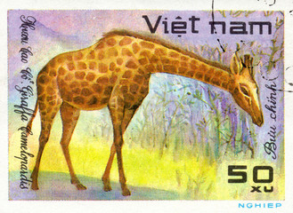 VIETNAM - CIRCA 2017: A Stamp printed in Vietnam shows giraffe Giraffa Camelopardalis, series Animals, circa 1981