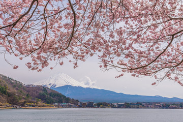 Beautiful cherry blossoms in spring with Mount Fuji, japan