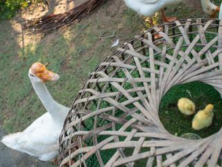 Goose Protect gosling near Kiosks