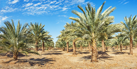 Date palms have an important place in advanced desert agriculture in the Middle East