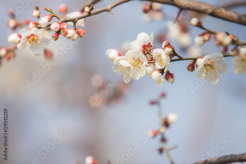 Wall mural abstract cherry blossom [Soft focus, Background]