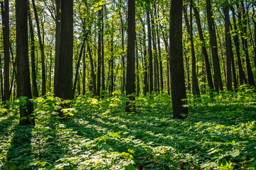 Summer nature landscape with sunlight in trees of deep green forest woods. Scenic forest of fresh green deciduous trees with warm sun rays through the foliage.