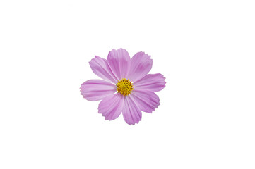 Purple cosmos flower isolated on white,Orange cosmos with white background