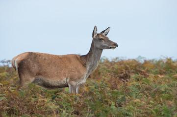 Red Deer Hind (Cervus elaphus)/Red Deer Hind in thick bracken