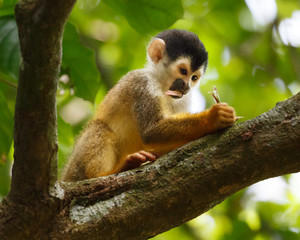 Squirrel Monkey appears to be deep in thought writing