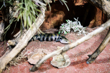Lizard with stripes,Alligator lizard