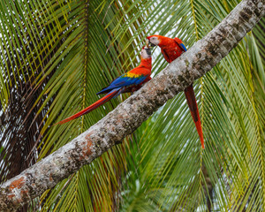 Pair of Parrots playing on a palm tree in costa rica