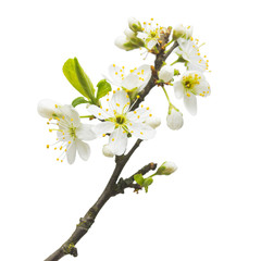 A branch of cherry blossoms isolated on white background. Flower. Easter
