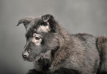 black mongrel puppy in studio