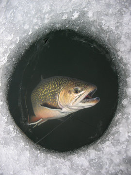 Winter fishing on lake. Catching Brook trout (Salvelinus fontinalis) in the clean and beautiful place! Brook being pulled through the hole while ice fishing.