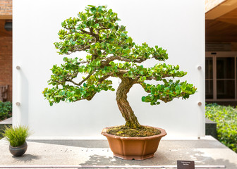 Bonsai tree, Carissa Macrocarpa, Natal Plum