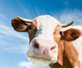 Fototapete - Brown cow (focus on the nose)  against blue sky background
