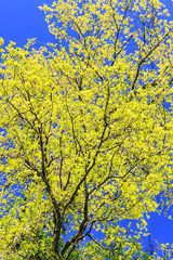Beautiful tree with fresh leaves at spring on blue sky background. Vertical view