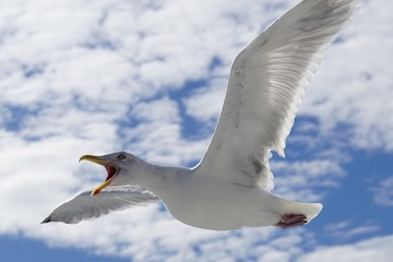 A seagull bird flying in the sky with its beak wide open