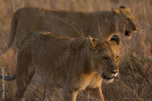 Lion Cubs Walking