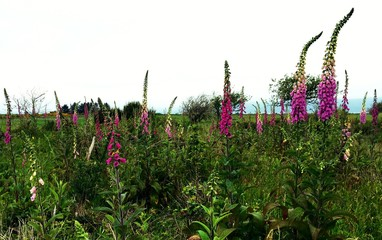 Pink wildflowers blooming in an Oregon field