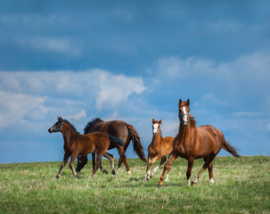 Fototapete - Herd of horses walks in field. Two mares with foals on pasture.