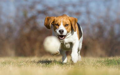 Playing fetch with Beagle dog