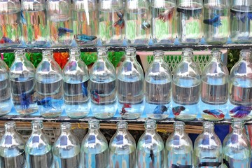 olorful exotic aggressive Thai fighting fish for sale on the pet street market in small clear glass soda water bottles waiting for new home.