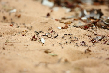 Driver ants or safari ants (Dorylus sp) in Zambia