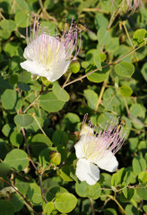 Capparis spinosa, best known for the edible flower buds (capers)