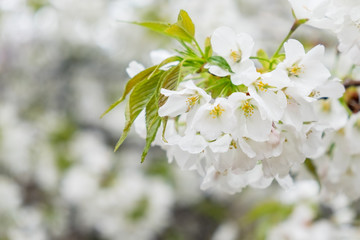 Wall Mural - White sakura or cherry blossom flower full bloom in spring season.