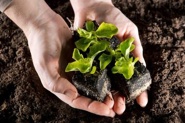 Blattsalat Setzlinge in Händen gehalten über dunkler Gartenerde