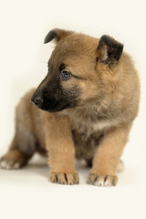brown crossbreed puppy on a white background