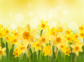 Wall Mural - Yellow daffodils with butterflies, spring background of flowers.