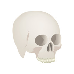 side view realistic human skull icon vector illustration