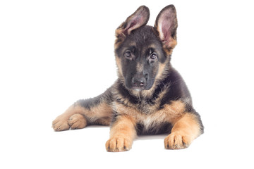 German Shepherd Puppy looking