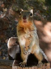 Curious Rock Squirrel (Otospermophilus variegatus) in Zion National Park, Utah, USA