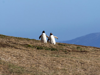 Acrylic Prints Penguin Gentoo penguin, Pygoscelis Papua, nests in large colonies, Falkland islands