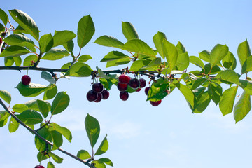 beautiful ripe fresh cherry fruit on the branch of a tree and surrounded by a sunny day