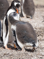 Gentoo penguin, Pygoscelis Papua, feed the chick, Falkland Islands