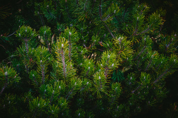 Background from green Fir tree branches. Close up view