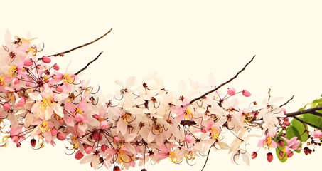 Cassia bakeriana Craib / The beauty of colorful  Cassia  flower