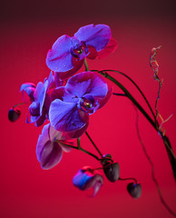 Orchid composition in red and blue