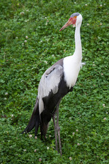 Wattled crane (Bugeranus carunculatus).