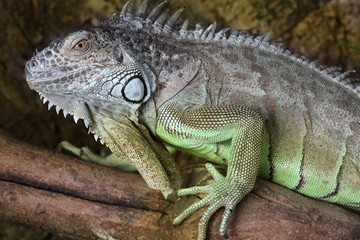 Close up of a male Iguana