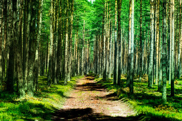 Shot of a pine forest and a path through the forest. Photo is taken in a forest near the Baltic sea.
