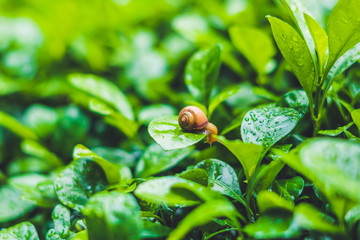 Snail crawling on a leaf with drops of water after rain