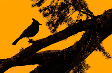 Beautiful Silhouette of  Steller's Jay (Cyanocitta stelleri) perched on pine tree