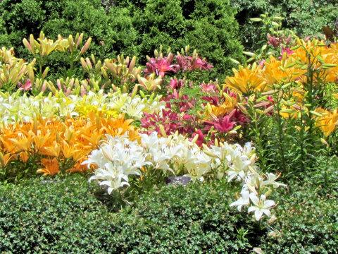 Toronto Garden the carpet of lilies 2014
