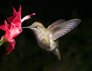 Hummingbird and red flower with dark background letter aspect ratio