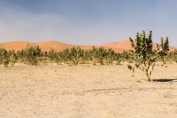 Sand dunes and trees in desert Erg Chegaga, Morocco