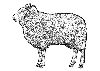 Sheep illustration, drawing, engraving, ink, line art, vector